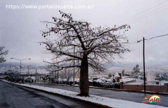 Foto del árbol borracho bajo la nieve en una avenida, Barrio Grand Bourg, Salta.